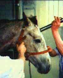 Bolzenschuss ansetzen beim Pferd