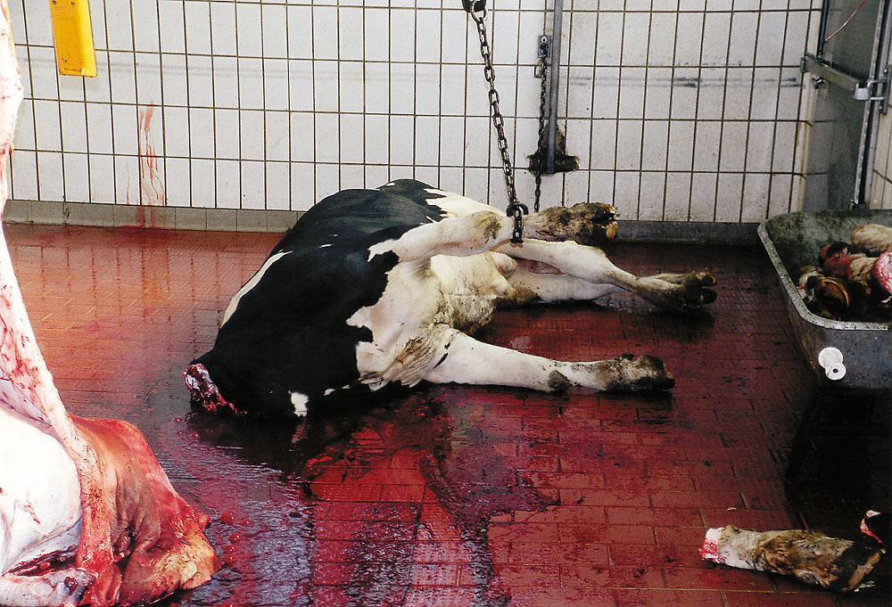 Rinderschlachtung videos