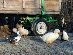 Geflügel: Enten, Hühner